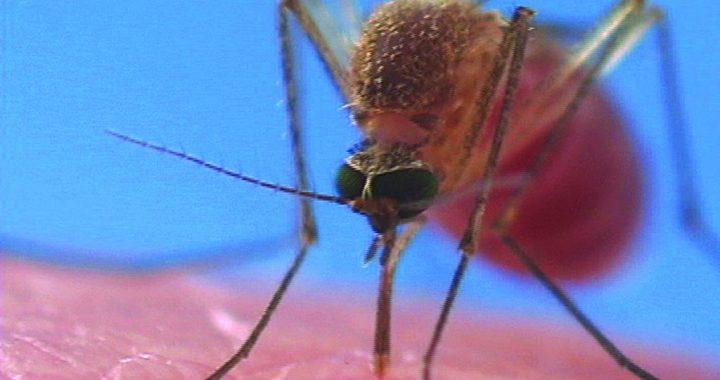 PLAGA komarów w Polsce! Przenoszą GROŹNĄ chorobę! Objawy to…