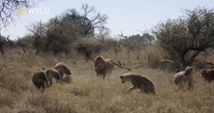 LWY vs hieny! Musisz to zobaczyć!