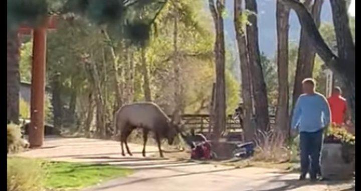 Zdenerwowany łoś zaatakował spacerujących turystów! Zwierzę wpadło w szał bo (…)!