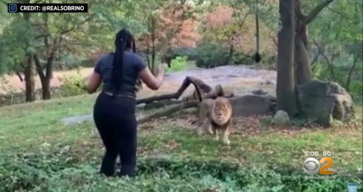 Kobieta weszła na wybieg dla lwa. To co zrobiła później jest szokujące!