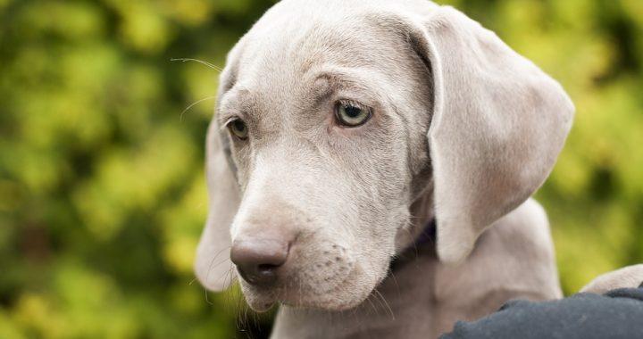 Był wychudzony i bezsilny! Ten pies odnalazł się po 30 dniach od…