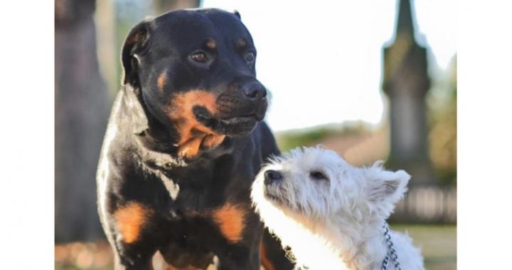 TAK wyglądają szczeniaki Westie z Rottweilerem! To nie fotomontaż!