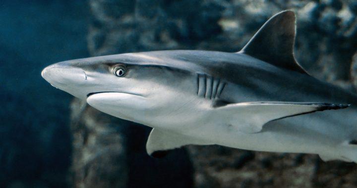 Poddali 3,5 metrowego rekina badaniu USG! Byli w szoku kiedy spojrzeli na monitor!