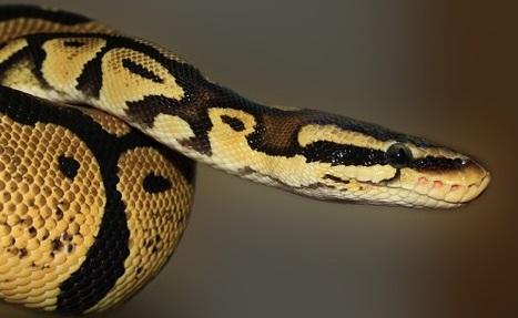 Kobieta miała owiniętego wokół szyi PYTONA! Nie przeżyła, bo wąż…