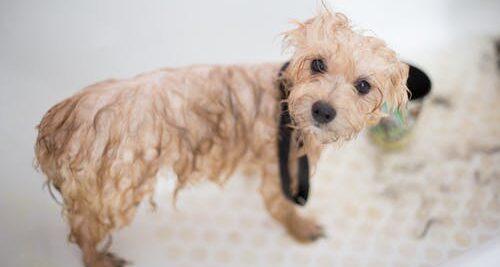 Pies pójdzie do fryzjera. Jego właściciel jeszcze nie może. Gdzie sprawiedliwość w pandemii ?